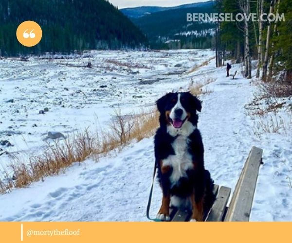 Bernese Mountain Dogs are extremely family-oriented