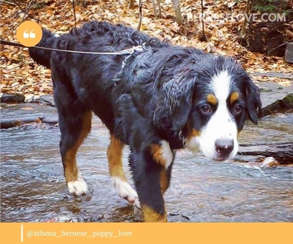 People get Bernese Mountain Dogs for specific reasons