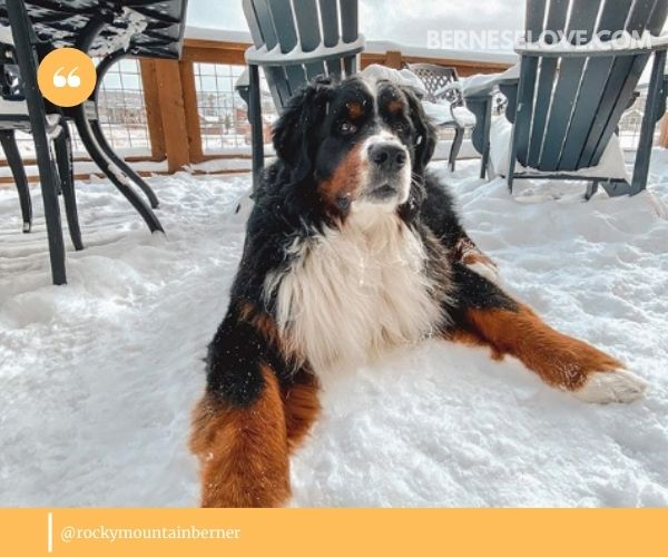 Bernese Mountain Dogs live outside