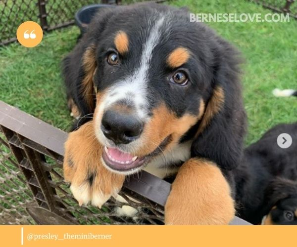 If your Mini Bernese Mountain Dog inherits more of a Cavalier King Charles personality