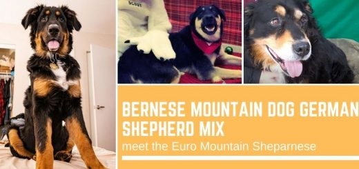 Bernese Mountain Dog German Shepherd mix: meet the Euro Mountain Sheparnese