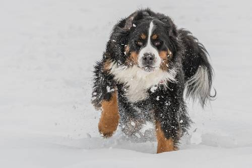 Bernese Mountain Dogs are extremely family-oriented and devoted to their people