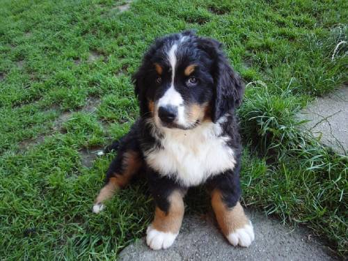 Bernese Mountain Dog is excellent with kids