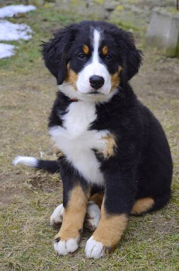 A Bernese Mountain Dog puppy at three months of age will weigh around 14 kg (31 lb)