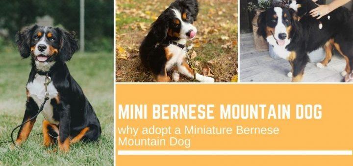 Mini Bernese Mountain Dog: why adopt a Miniature Bernese Mountain Dog