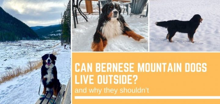 Can Bernese Mountain Dogs live outside