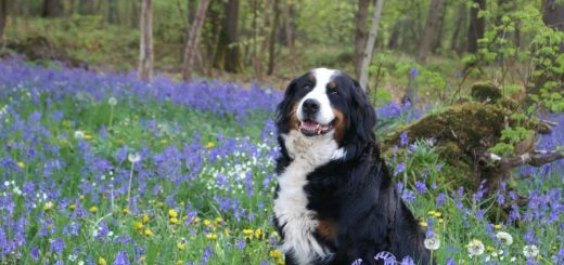 Bernese Mountain Dog price and what it depends on