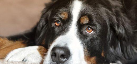 Bernese Mountain Dog lifespan: how long do Berners live?