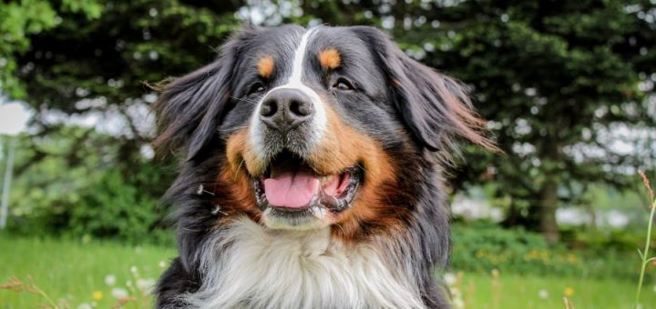 Bernese Mountain Dog Shedding and your sanity