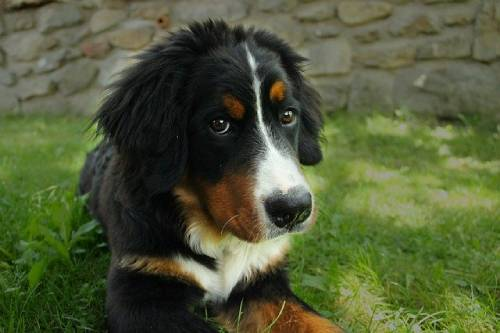 Adopting a Berner from a shelter is truly saving the dog