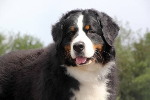 There are quite a few conditions that can affect the Bernese Mountain Dog lifespan