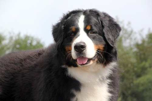 Hormonal state of your dog will also affect shedding