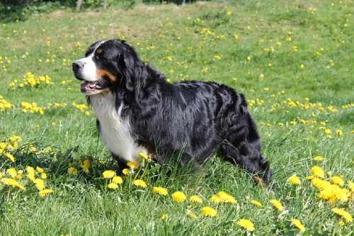 With a Mini Bernese Mountain Dog, you will have a dog that's endlessly dedicated, great at warming your lap and chilling with you on the couch