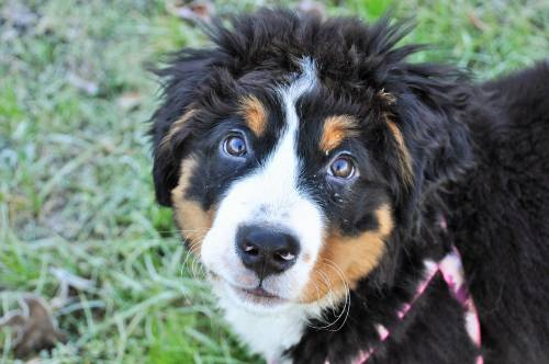 Bernese Mountain Dog price will depend on a few factors