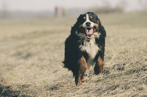 There are specialized Bernese Mountain Dog rescues around the world