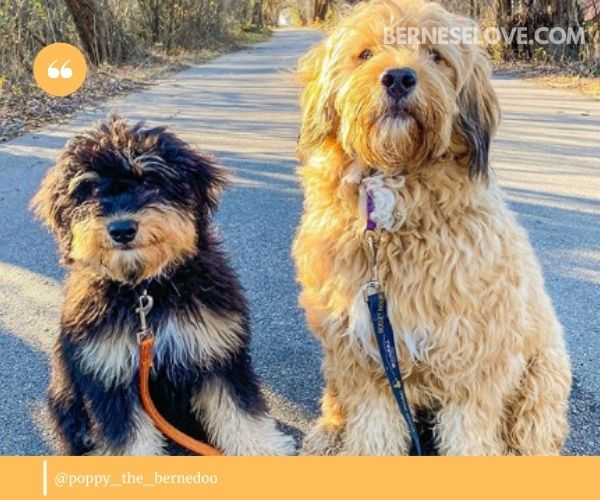 Bernedoodle or Bernese Mountain Dog Poodle Mix: temperament