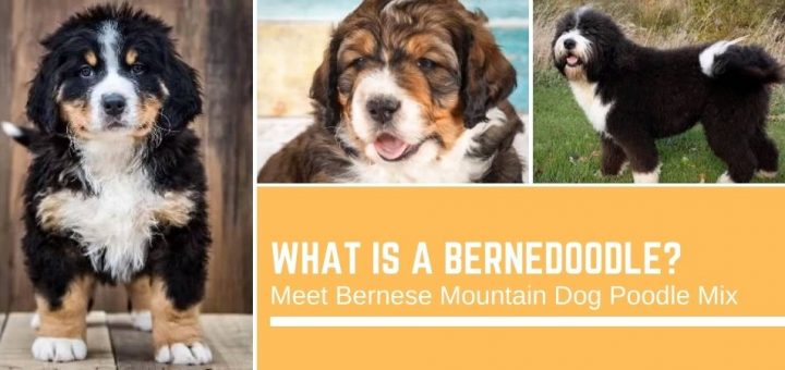 What is a Bernedoodle? Meet Bernese Mountain Dog Poodle Mix