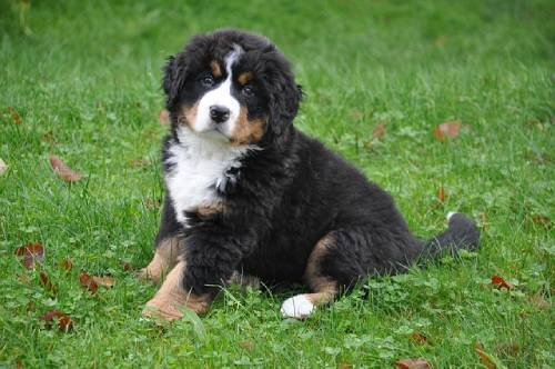 Are you really ready for a Bernese Mountain Dog puppy?