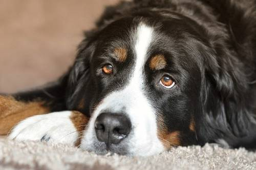 You can see dogs very similar to Bernese Mountain Dogs depicted in the works of art going as far as ancient Rome