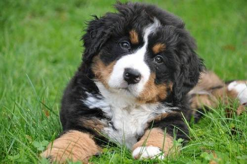 You will need to find a respectable Bernese Mountain Dog breeder