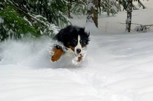 Bernese Mountain Dog origins also explain some of the physiology of the breed
