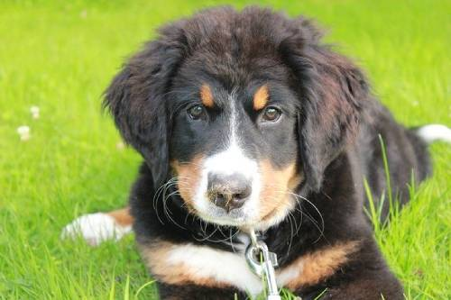 Feeding your Bernese Mountain Dog puppy