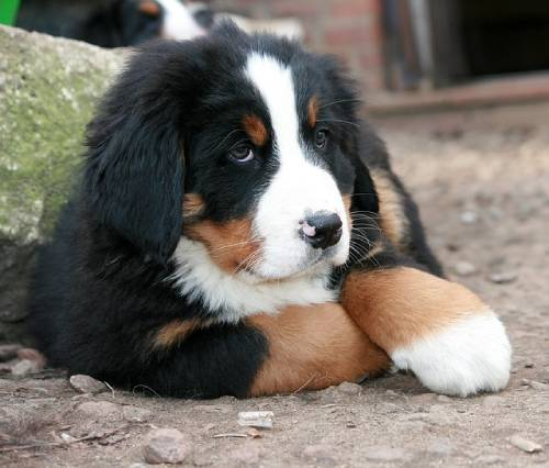 Your little Berner needs to learn how to behave in both human and dog societies.
