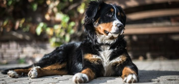 10 reasons to adopt a Bernese Mountain Dog