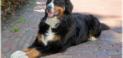 Bernese Mountain Dog Owner Review: James and Chucky
