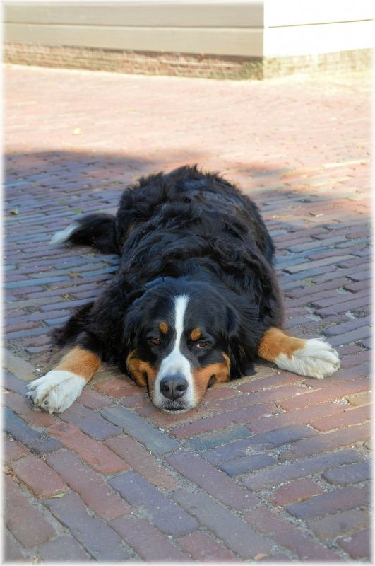 Bernese Mountain Dog Owner Review: James and Chucky - 2