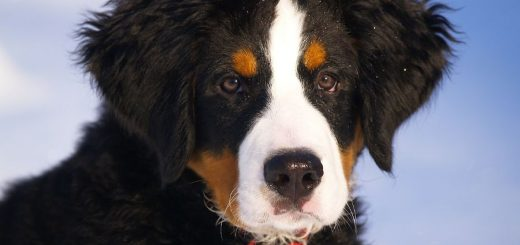10 things your Bernese Mountain Dog would tell you if it could