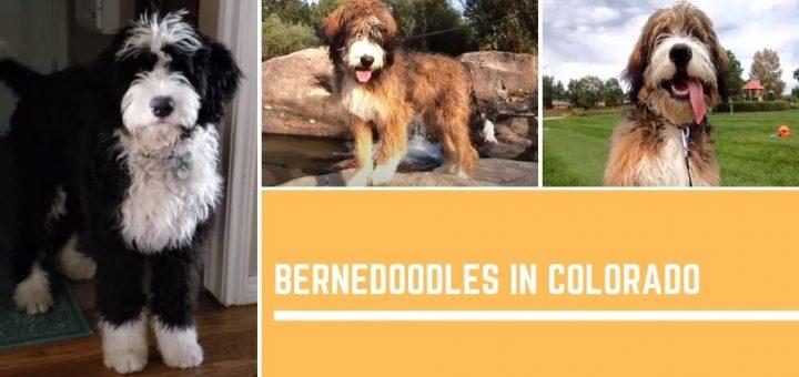 Bernedoodles in Colorado