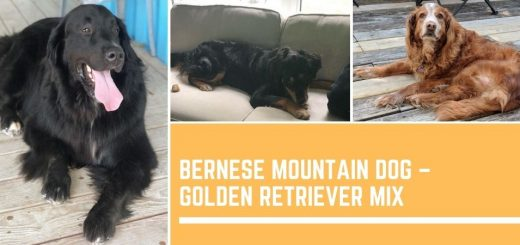 Bernese Mountain Dog – Golden Retriever Mix