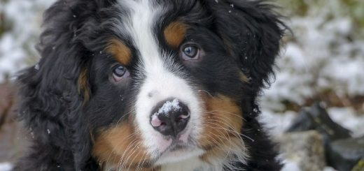 Your new Bernese Mountain Dog Puppy and how to raise them right