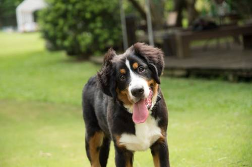Bernese Mountain Dogs are very intelligent