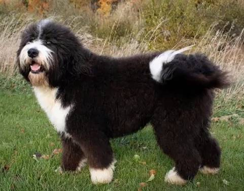 "One of the rising stars in the world of ""designer dogs"" and mixed breeds is a Bernese Mountain Dog - Poodle mix"