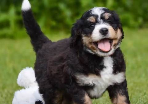 Bernedodles are not completely hypoallergenic