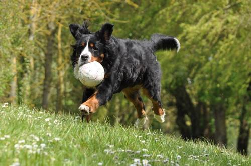 Bernese Mountain Dogs are very active