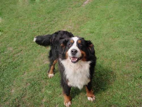 Unfortunately, Bernese Mountain Dogs don't tend to live very long