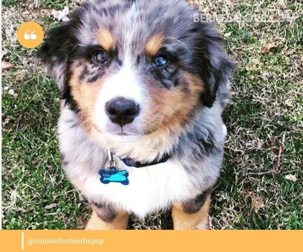 Bernese Mountain Dog Australian Shepherd Mix puppy