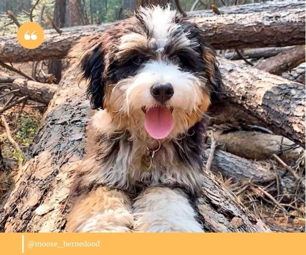 Mini Bernedoodles combine the wonderful qualities of Berners and poodles