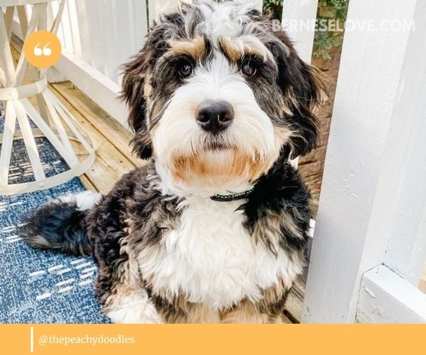Bernedoodle size, height and weight