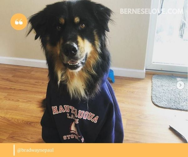 Bernese Mountain Dog Husky mix can take after both of the parent breeds.
