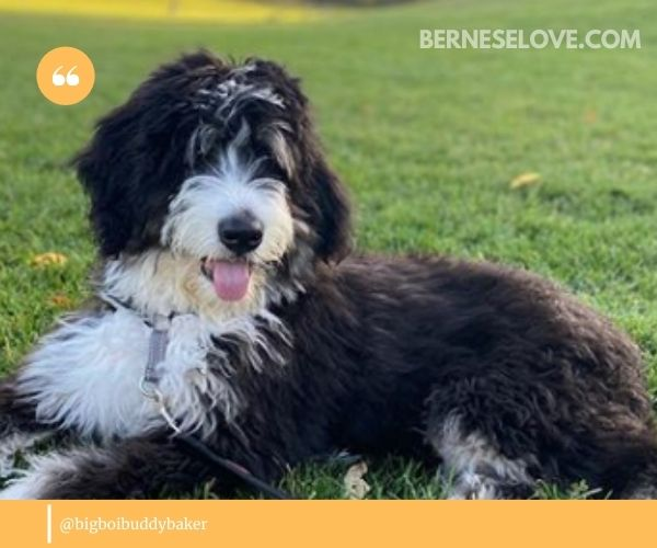 A Mini Bernedoodle will want to be around their family