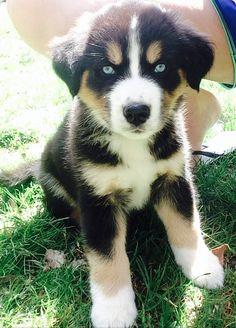 Bernese Mountain Dog Husky mix