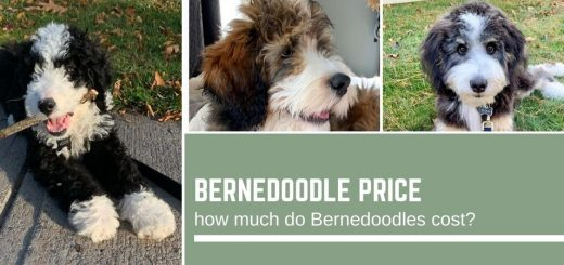 Bernedoodle price: how much do Bernedoodles cost?