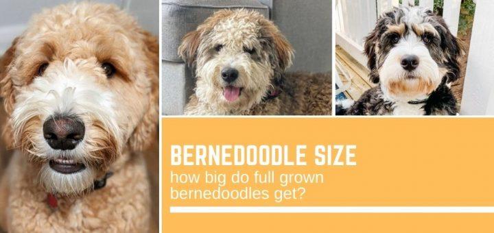 Bernedoodle size: how big do full grown bernedoodles get?