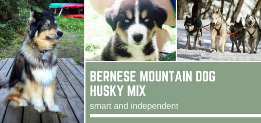 Bernese Mountain Dog Husky Mix – smart and independent