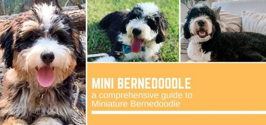Mini Bernedoodle: a comprehensive guide to Miniature Bernedoodle