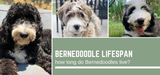 Bernedoodle lifespan: how long do Bernedoodles live?